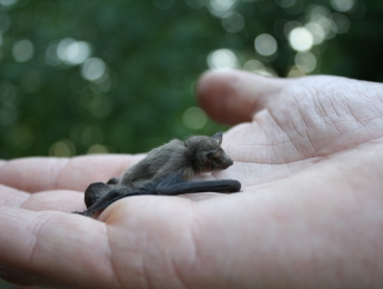 pipistrelle bat in the hand